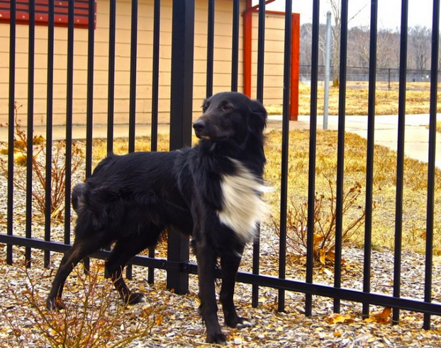 Dogs and Iron or Aluminum Fence